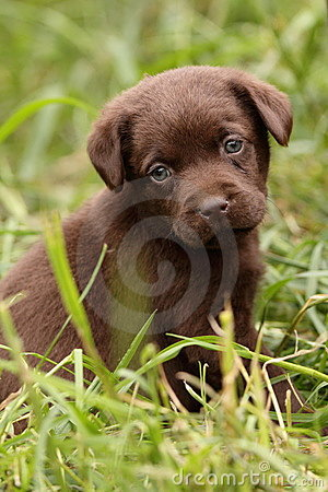 Chocolate  Puppies on Stock Image  Chocolate Labrador Retriever Puppy  Image  9544061