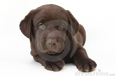 Chocolate labrador retriever puppy with green eyes