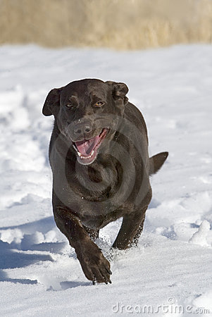 Chocolate Labrador Retriever running in the snow.