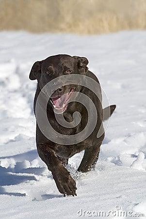 Chocolate Labrador Retriever running in the snow.