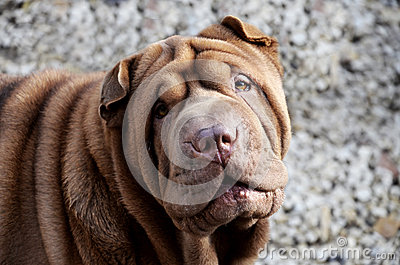Chocolate sharpei portrait