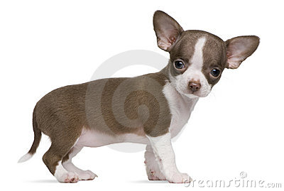Chocolate and white Chihuahua puppy, 8 weeks old
