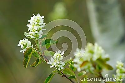 Choke Cherry Blossom