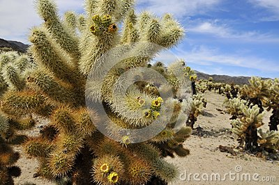 Cholla Garden in National Park
