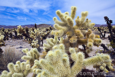 Chollo Cacti in California