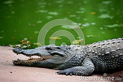 Chongqing crocodile center of the Alligator