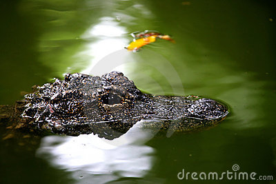 Chongqing crocodile center of the Alligator