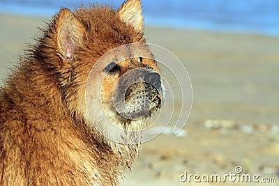 Молодая собака Chow Chow
