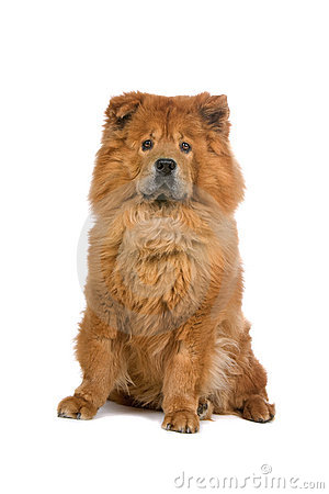 Free Chow Chow Dog Royalty Free Stock Photography - 13806177