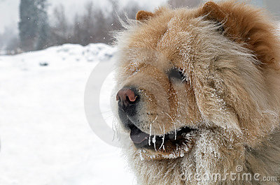 Chow-chow dog portrait