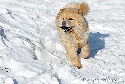 Chow-chow dog running