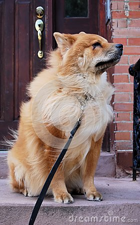 Chow Chow Dog on Stoop
