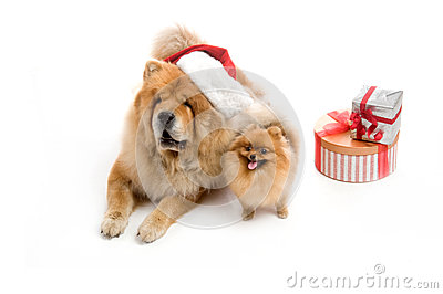 Chow-Chow in a red Santa Claus hat and spitz,