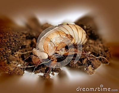 Christmas beetle larvae  Scarabaeidae