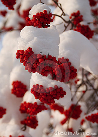 Christmas Berries in Snow