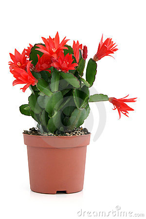 Free Christmas Cactus. Schlumbergera. Stock Image - 19760581