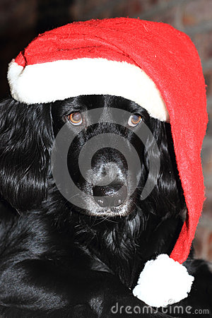 Christmas dog with red and white Santa hat