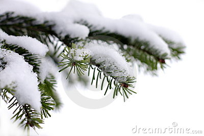 Christmas evergreen spruce tree