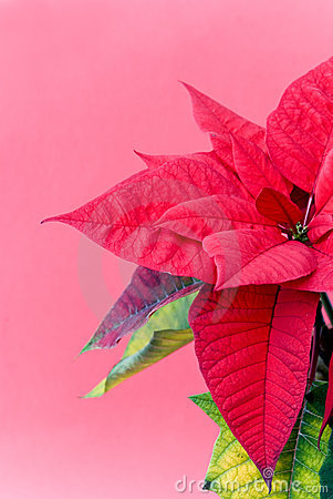 A Christmas Flower - Poinsettia - In The Pot