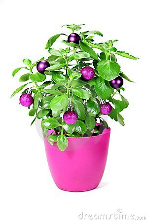 Christmas green plant with baubles
