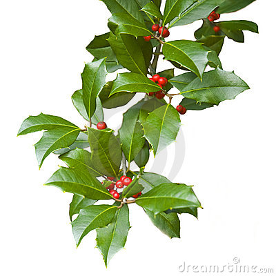 Free Christmas Holly Branch Isolated On White Stock Photo - 17501960