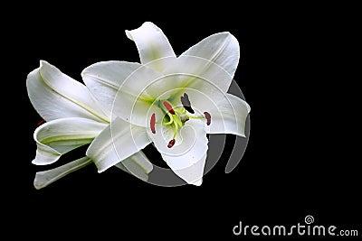 Christmas Lily