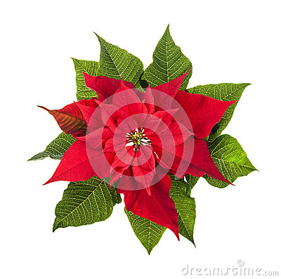 Free Christmas Poinsettia Plant Isolated On White Stock Images - 29678314