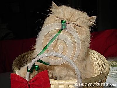 Christmas Present Cat