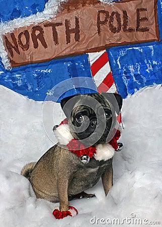 Free Christmas Pug Royalty Free Stock Photo - 56095