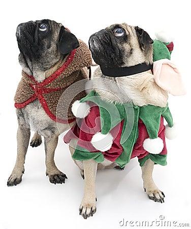 Christmas Pugs Looking Up