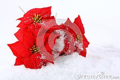 Christmas red poinsettias