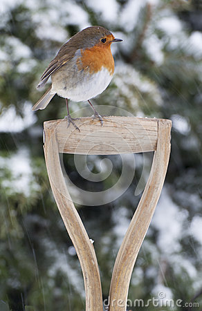 Free Christmas Robin In The Snow Royalty Free Stock Photography - 33886667
