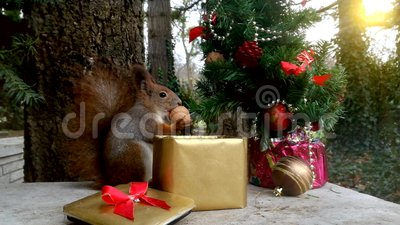 Christmas squirrel. Squirrel eats from the box between Christmas decorations stock video