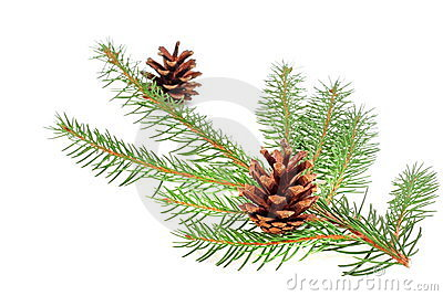 Christmas tree bough with cone