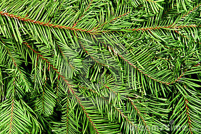 Christmas Tree Branches Green Background Stock Image