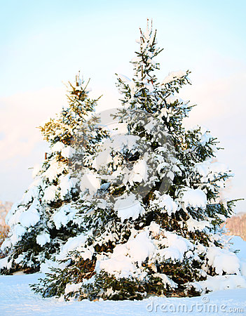 Christmas tree covered with fresh snow. Sunny Winter Day.