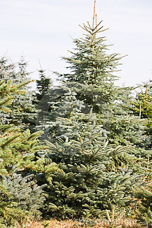 Christmas Tree Farm