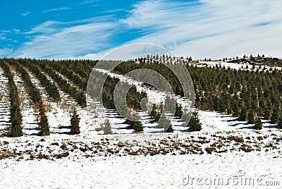Christmas Tree Farm/Horizon