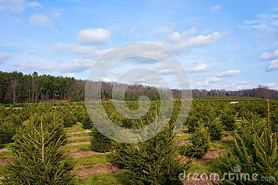 Christmas Tree Farm Landscape #2