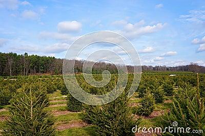 Christmas Tree Farm Landscape #2