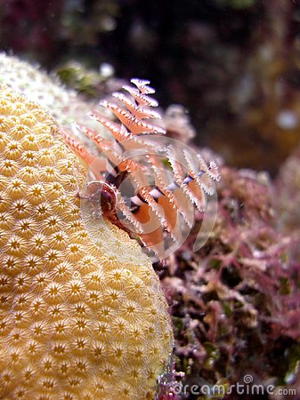 Christmas Tree Tube worms