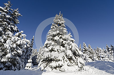 Christmas Trees Covered with Snow
