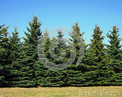 Christmas trees growing in the park Stock Photo