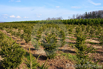 Christmas Trees Landscape #1
