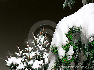 Christmas Trees with snow