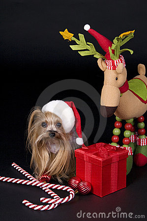 Christmas Yorkshire terrier dog