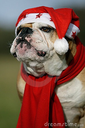 Free Christmastime Bulldog Royalty Free Stock Images - 16551879