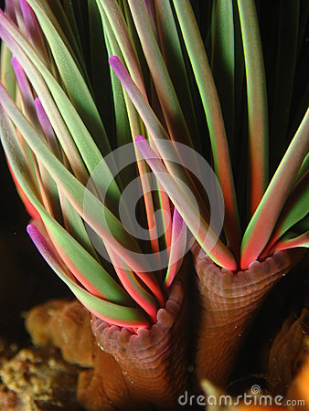 Chromatic anemone