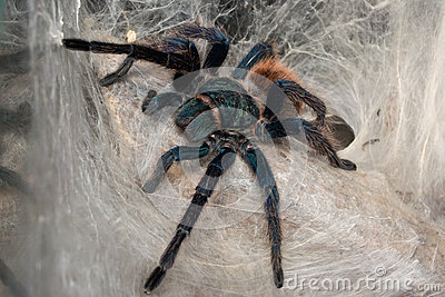 Green Bottle Blue Tarantula Web
