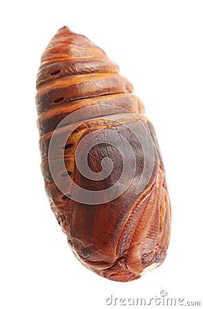 Free Chrysalis Silkworm Royalty Free Stock Photo - 28477175